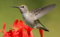 Hummingbird Photo and Picture 19