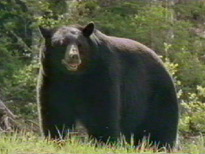 Spring Black Bear Hunting