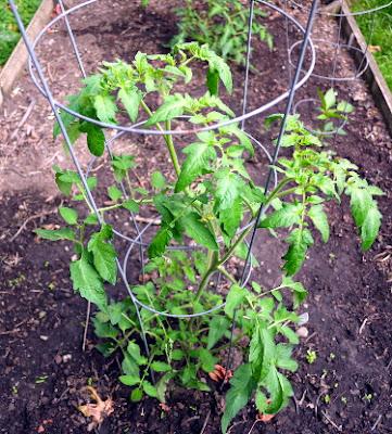 caspian pink tomato plant