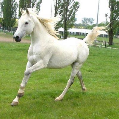 White arabian horse - photo#19