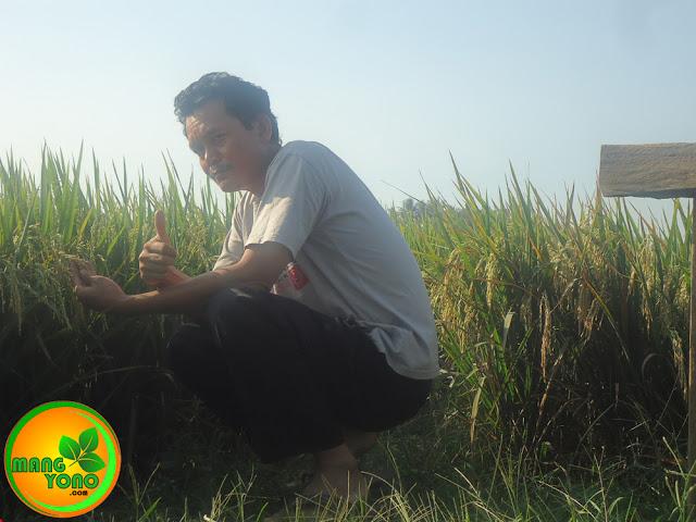 Panen padi di Pagaden Barat, Subang.. Harga gabah turun.
