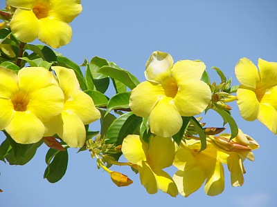 The holy quest sri aurobindo and mother of pondicherry a allamanda poo yellow bell flower mightylinksfo