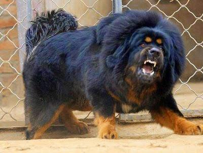 dog beast. dog showing teeth