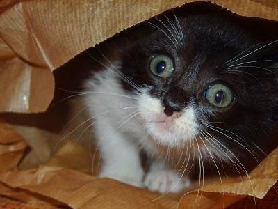 gatito en una bolsa