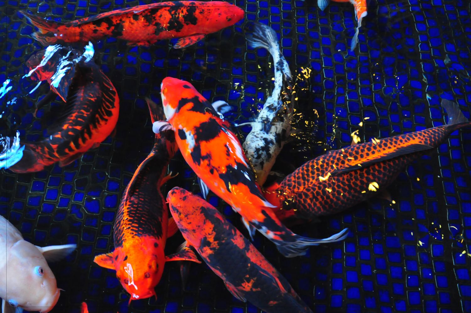 Shutterbugs Capturing the World Around Us: Colorful Koi