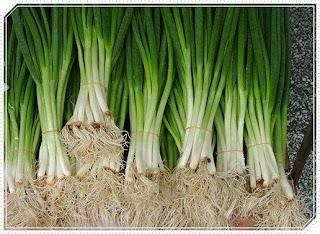 cara menanam daun bawang di polybag