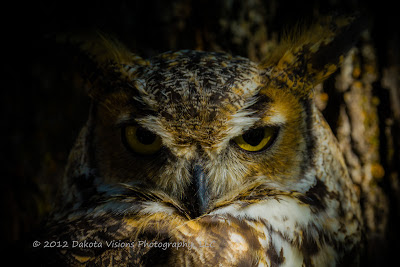 Icarus, Great Horned Owl