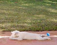 foto schnauzer miniatura branco filhote