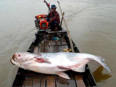 mekong giant catfish situslakalaka 9 Monster Sungai Yang Masih Ada Hingga Saat Ini