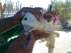Ikan Hiu Albino Bermata Satu