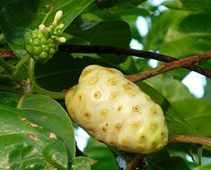 Fruit of Morinda (Noni fruit)