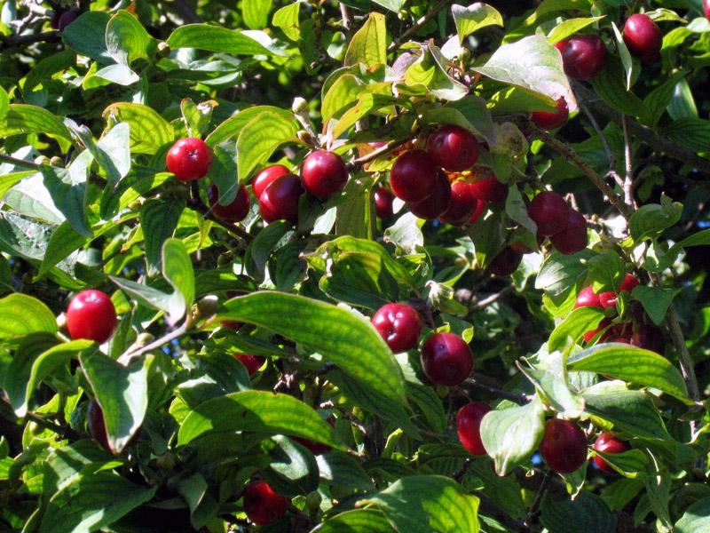 Orto per tutti piante da frutto rare for Piante rare