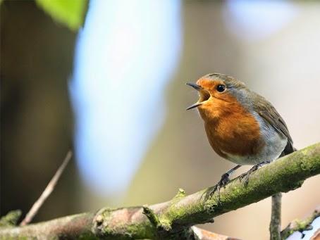 Foto Burung Mbotok Terbaik