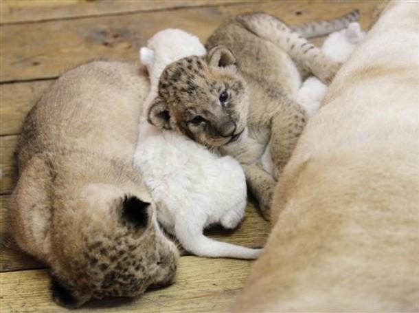 white lion wallpaper. white lion cubs wallpaper.