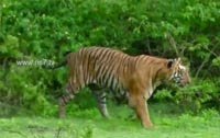 India is home to 70% of world tigers