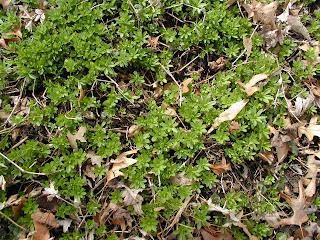 Galium odoratum, sweet woodruff, madder family, Rubiaceae