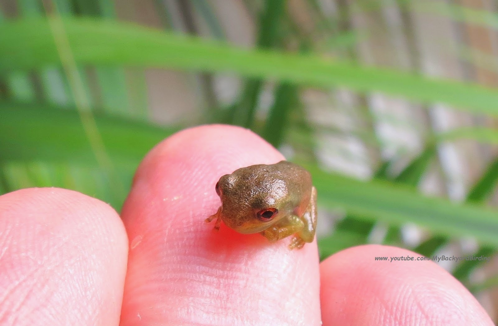 backyard birding and nature cute baby tree frogs poetry of