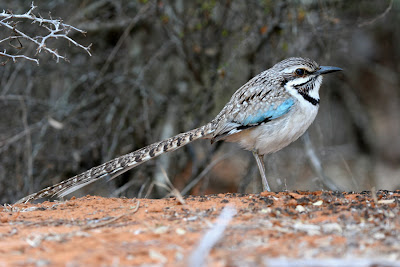 long tailed Ground Roller 3