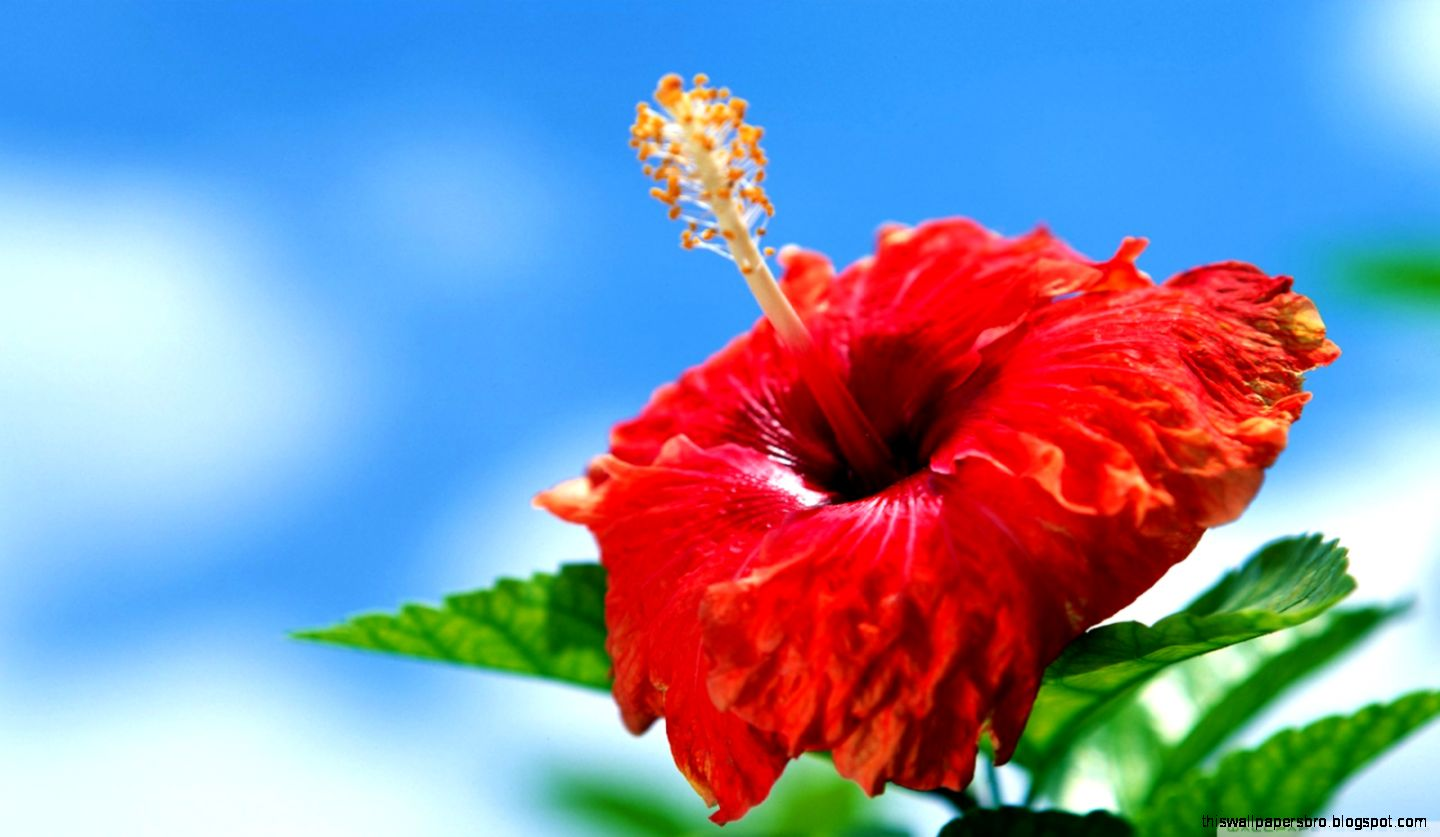 Blue Hibiscus Flower Meaning Choice Image Flower Wallpaper Hd
