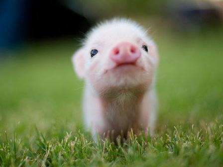 Despierta, te necesitan: Las diez razones por las que no comer cerdo