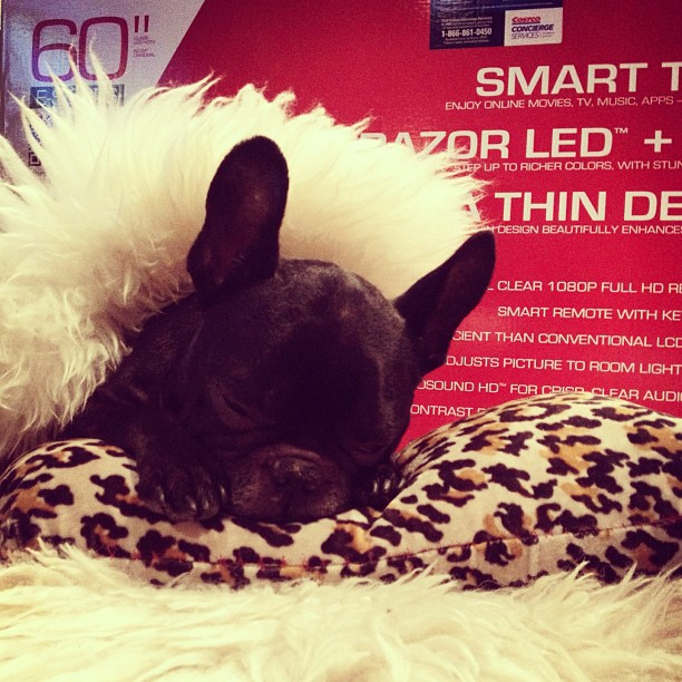 frenchie and tv