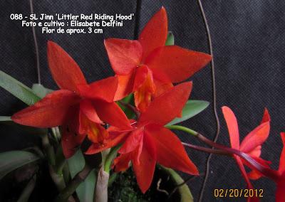 SL Jinn Littler Red Riding Hood  do blogdabeteorquideas