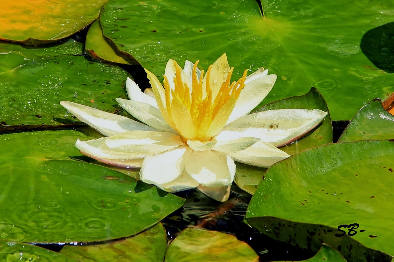 Beauty flower lotus flowers the lotus flower is a very popular tattoo it is a symbol of awakening to the spiritual reality of life in hinduism and buddhism though the meaning varies izmirmasajfo