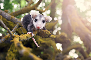 Possum Cute