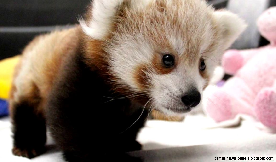 Twin Red Panda Cubs at Lincoln Children39s Zoo   YouTube
