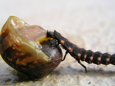 snails Deseases and Pests