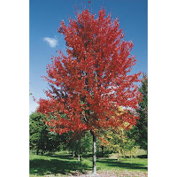 Autumn Blaze Tree2