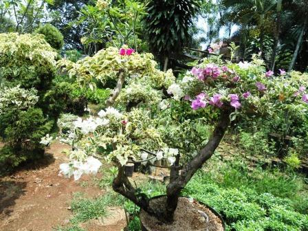 jual bonsai bougenville