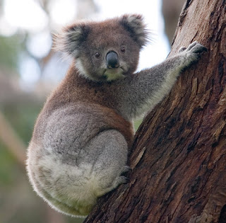 Penampakan Siluman Koala dengan seorang Ibu Cantik di India