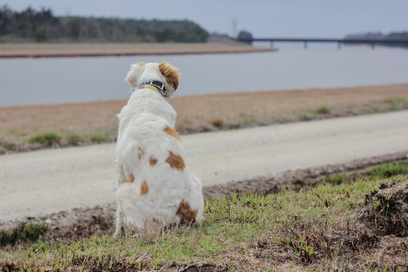 bird dog looking at the water