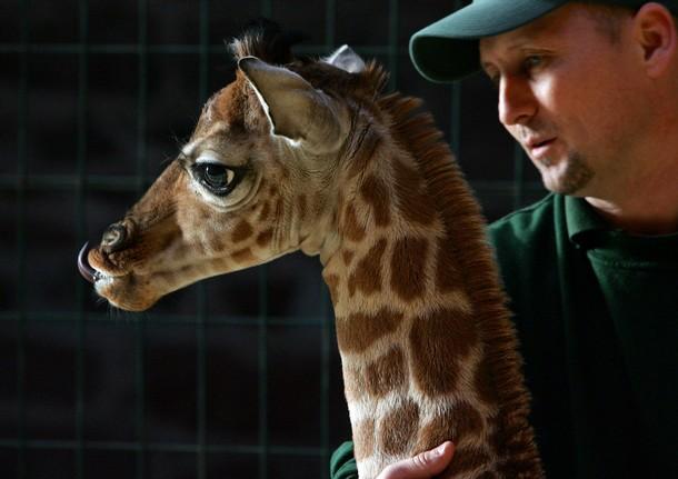 882532050 أجمل صور الزرافة    Photo Giraffes