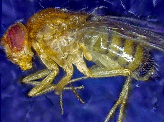 Fruit Fly Lifespan Extended Dramatically