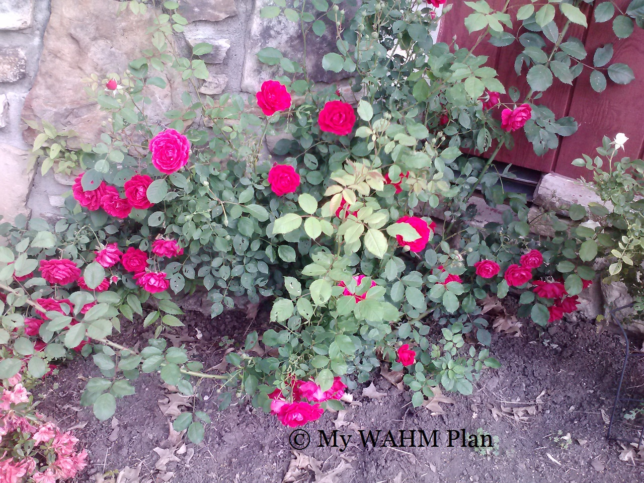 rambling red Rose