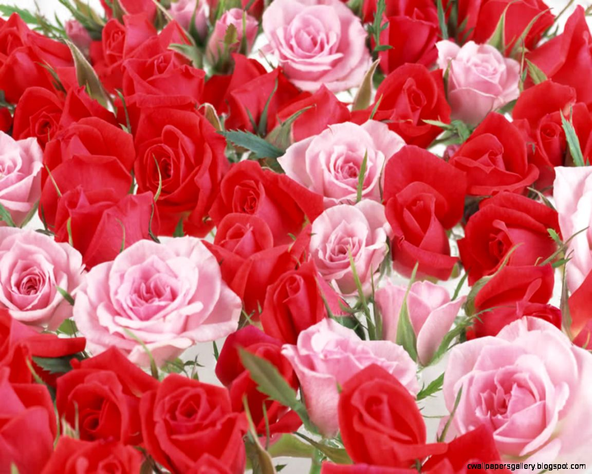 Beautiful Pictures of Roses Wallpaper   WallpaperSafari