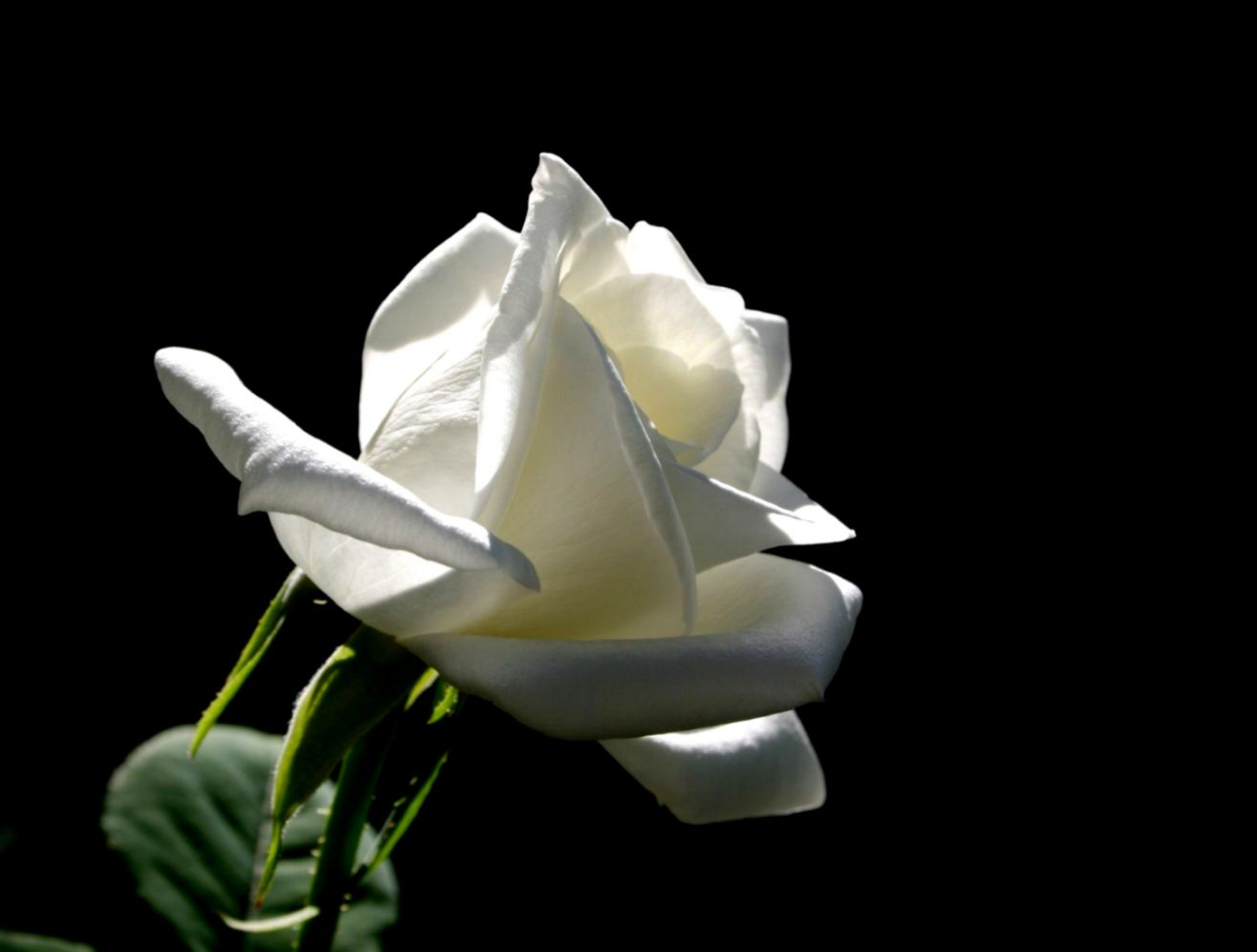 white rose  The White rose on a black background black flowers