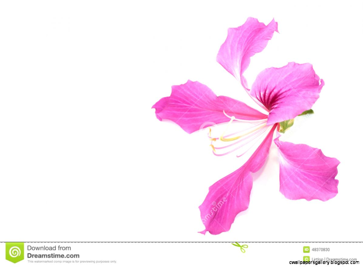 Orchid Tree Flower Isolated Stock Photo   Image 48370830