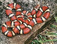 Venomous or Non Venomous…Do you know? – 12/30/11
