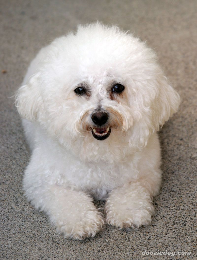 Cute Dogs: Cute Bichon Frise Dog