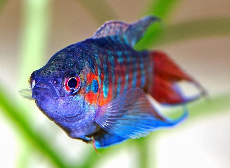 Peces ornamentales for Acuariofilia peces ornamentales