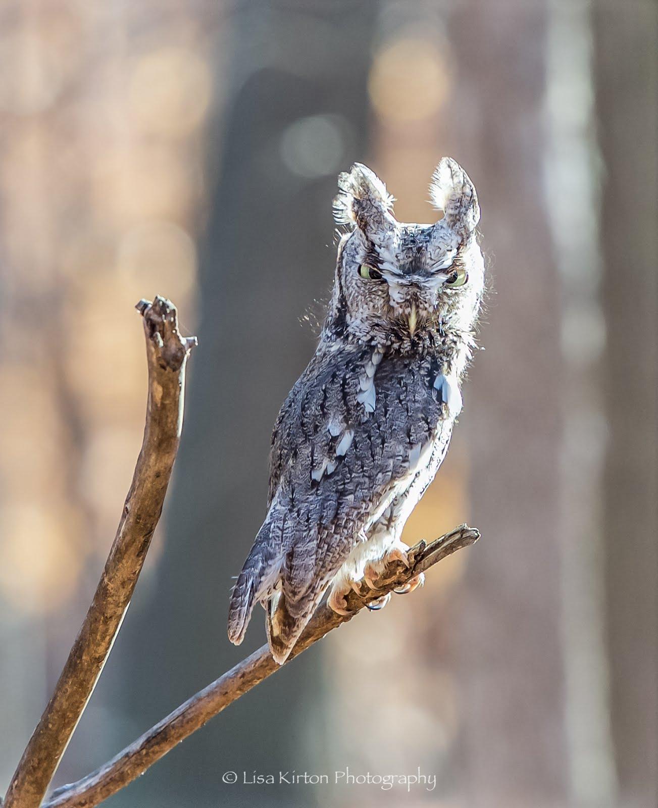 Screech Owl Along the Fourteen