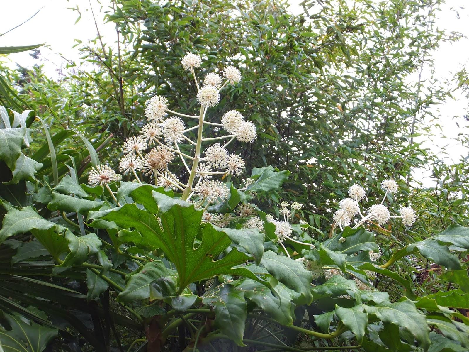 Fatsia japonica in flower