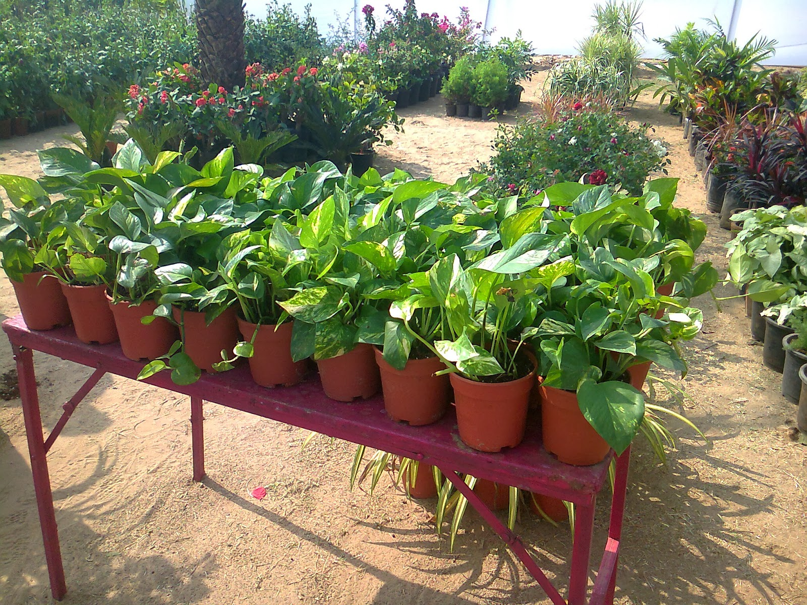 money plant nursery