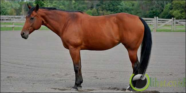 Kuda American Quarter