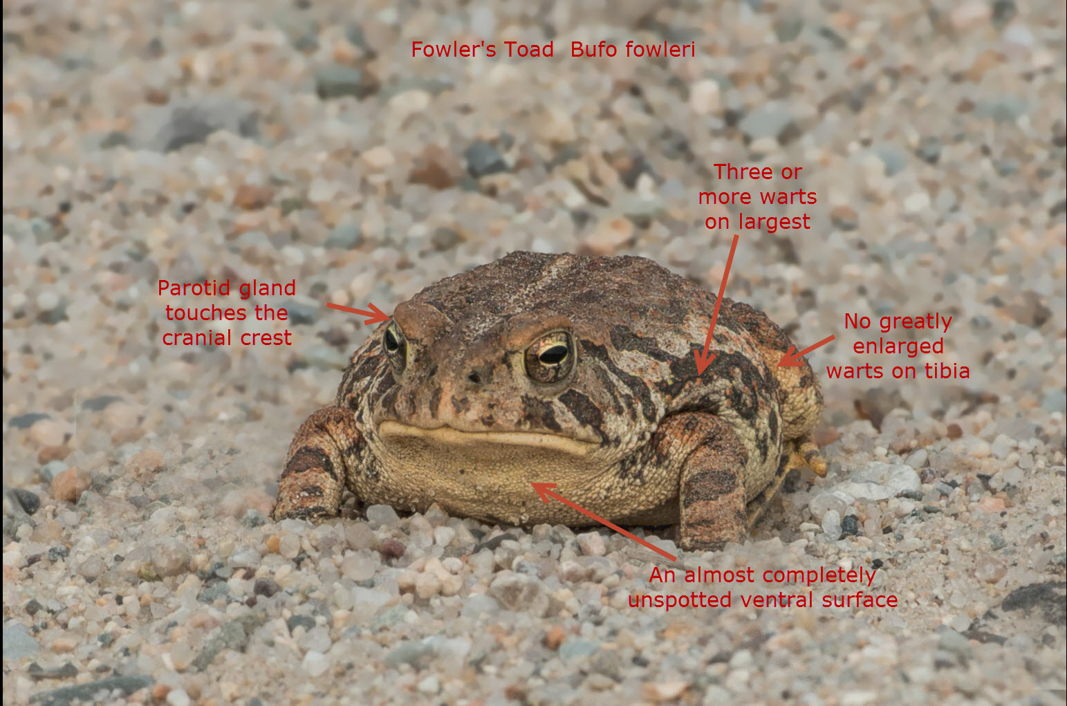 Fowlers Toad vs American Toad Fowler 39 s Toad Identification
