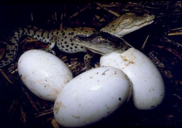 10 hermosas fotografías de cocodrilos bebes y su proceso de ...