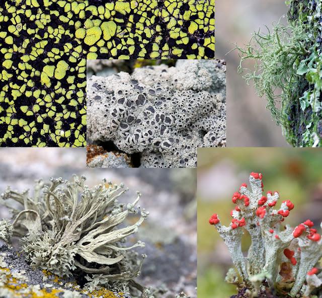 collage que muestra la diversidad estructural del talo de los líquenes